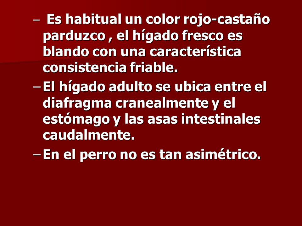 – Es habitual un color rojo-castaño parduzco, el hígado fresco es blando con una característica consistencia friable. –El hígado adulto se ubica entre