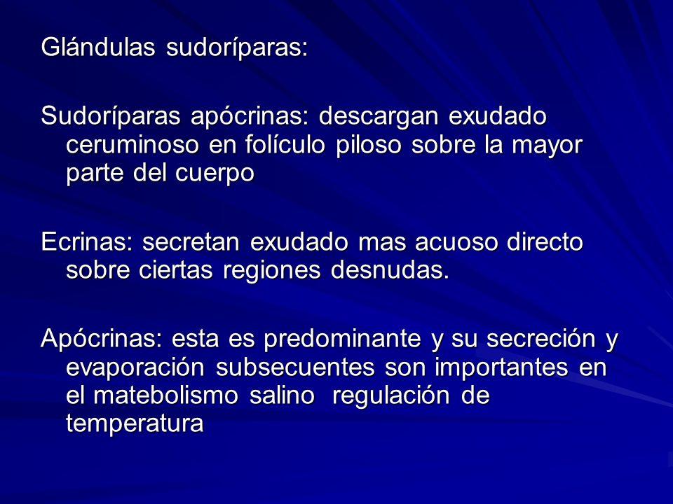 Glándulas sudoríparas: Sudoríparas apócrinas: descargan exudado ceruminoso en folículo piloso sobre la mayor parte del cuerpo Ecrinas: secretan exudad