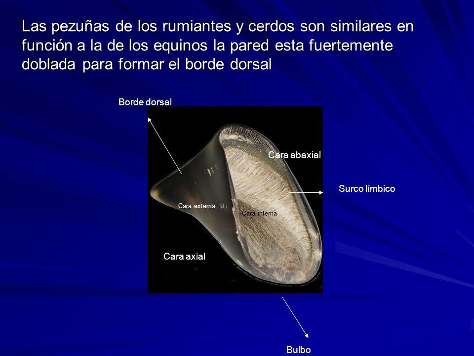 Surco límbico Cara axial Cara abaxial Cara interna Cara externa Borde dorsal Bulbo Las pezuñas de los rumiantes y cerdos son similares en función a la de los equinos la pared esta fuertemente doblada para formar el borde dorsal