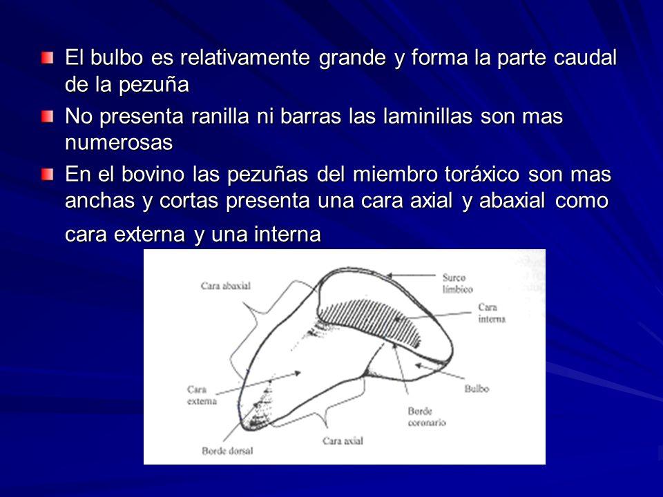 El bulbo es relativamente grande y forma la parte caudal de la pezuña No presenta ranilla ni barras las laminillas son mas numerosas En el bovino las pezuñas del miembro toráxico son mas anchas y cortas presenta una cara axial y abaxial como cara externa y una interna