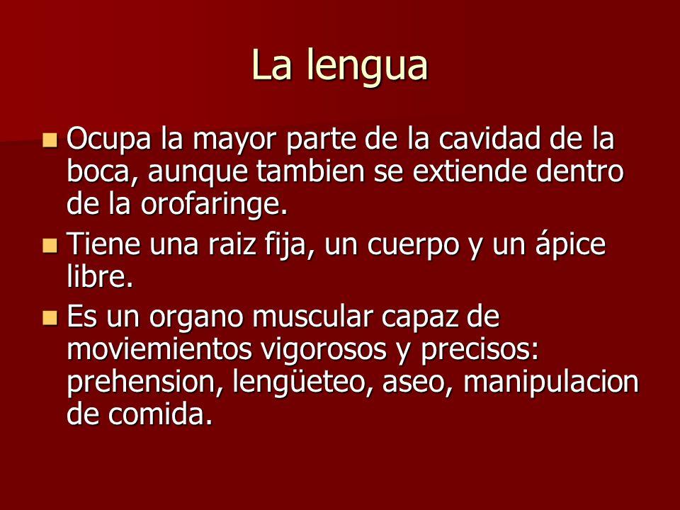 La lengua Ocupa la mayor parte de la cavidad de la boca, aunque tambien se extiende dentro de la orofaringe. Ocupa la mayor parte de la cavidad de la