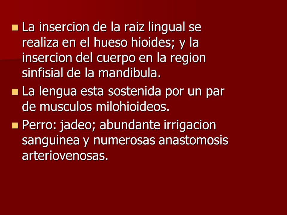La insercion de la raiz lingual se realiza en el hueso hioides; y la insercion del cuerpo en la region sinfisial de la mandibula. La insercion de la r