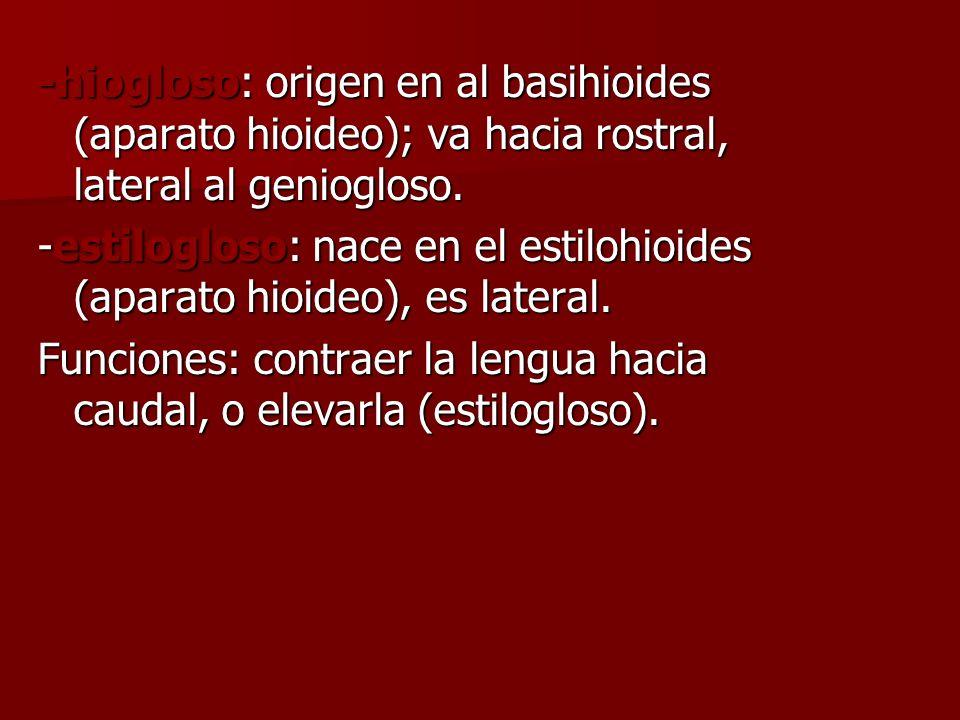 -hiogloso: origen en al basihioides (aparato hioideo); va hacia rostral, lateral al geniogloso. -estilogloso: nace en el estilohioides (aparato hioide
