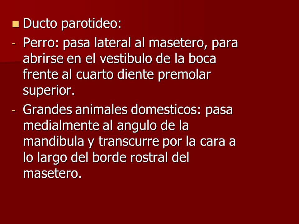 Ducto parotideo: Ducto parotideo: - Perro: pasa lateral al masetero, para abrirse en el vestibulo de la boca frente al cuarto diente premolar superior