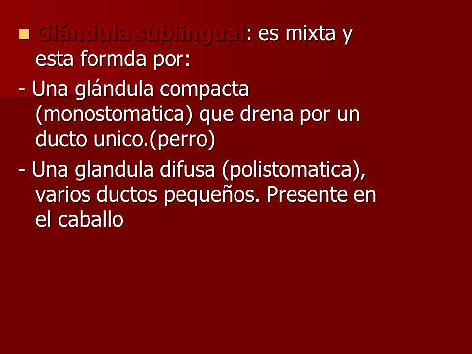 Glándula sublingual: es mixta y esta formda por: Glándula sublingual: es mixta y esta formda por: - Una glándula compacta (monostomatica) que drena po