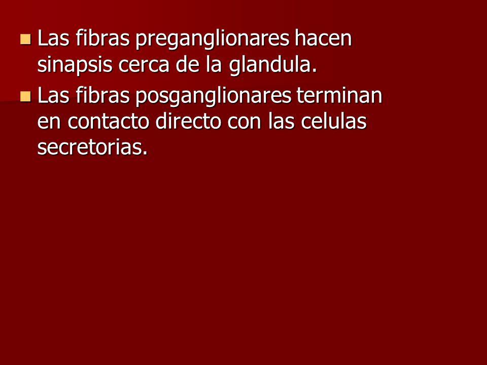 Las fibras preganglionares hacen sinapsis cerca de la glandula. Las fibras preganglionares hacen sinapsis cerca de la glandula. Las fibras posganglion