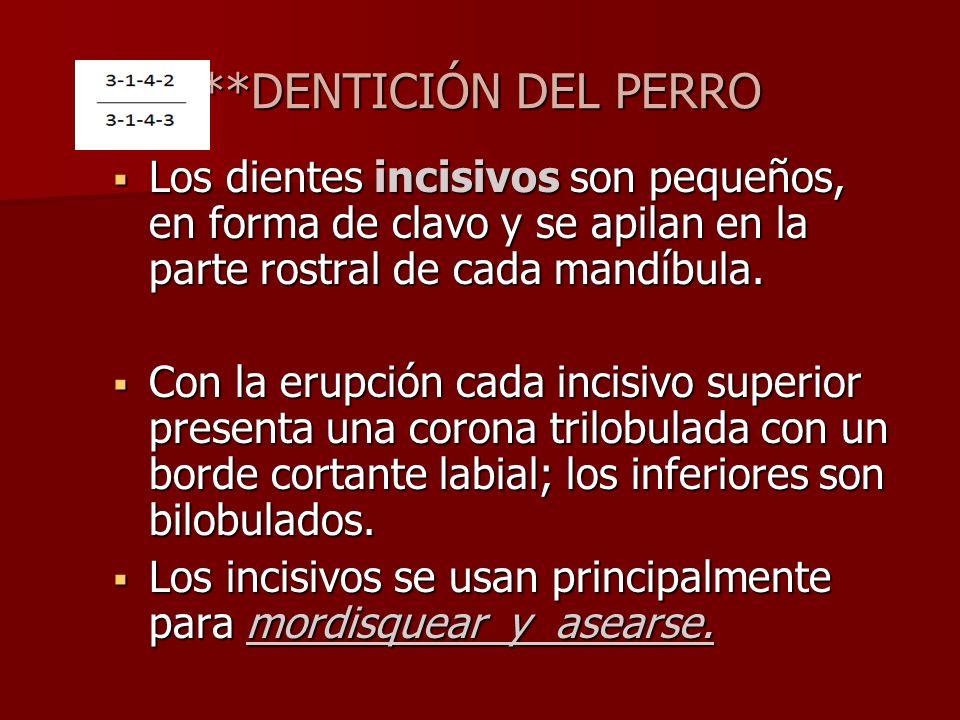 **DENTICIÓN DEL PERRO Los dientes incisivos son pequeños, en forma de clavo y se apilan en la parte rostral de cada mandíbula. Los dientes incisivos s