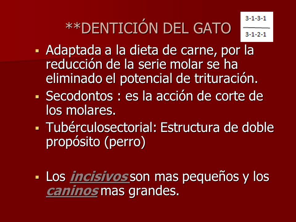 **DENTICIÓN DEL GATO Adaptada a la dieta de carne, por la reducción de la serie molar se ha eliminado el potencial de trituración. Adaptada a la dieta