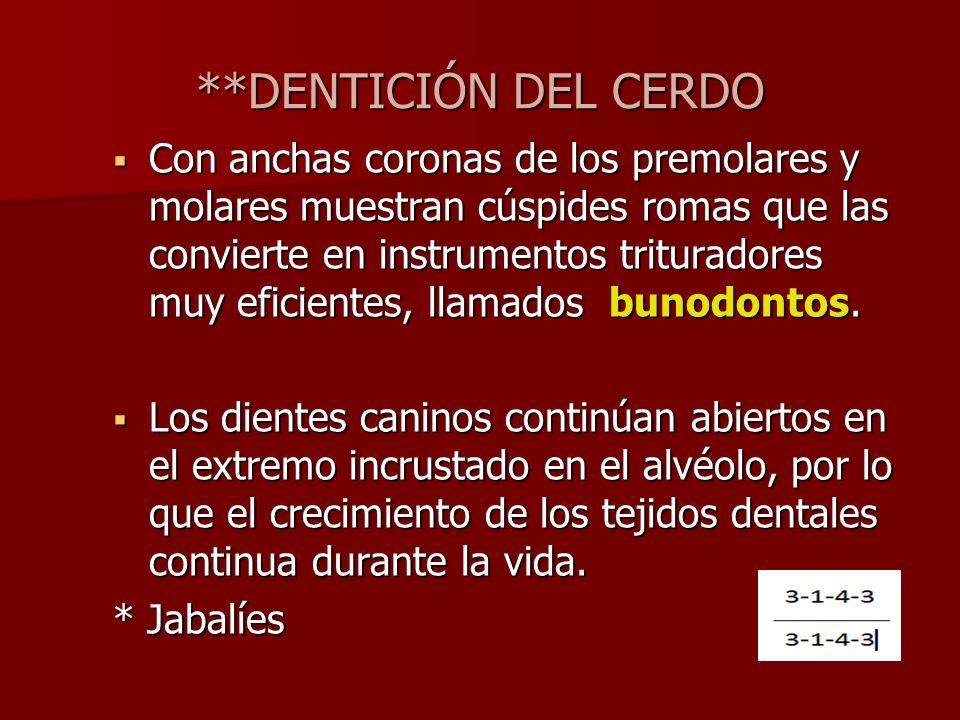 **DENTICIÓN DEL CERDO Con anchas coronas de los premolares y molares muestran cúspides romas que las convierte en instrumentos trituradores muy eficie