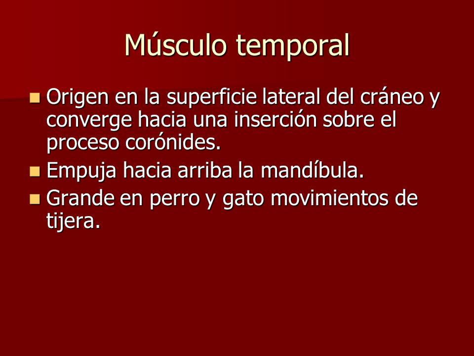 Músculo temporal Origen en la superficie lateral del cráneo y converge hacia una inserción sobre el proceso corónides. Origen en la superficie lateral