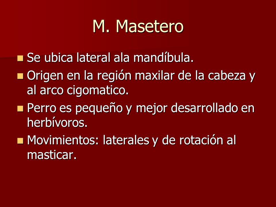 M. Masetero Se ubica lateral ala mandíbula. Se ubica lateral ala mandíbula. Origen en la región maxilar de la cabeza y al arco cigomatico. Origen en l
