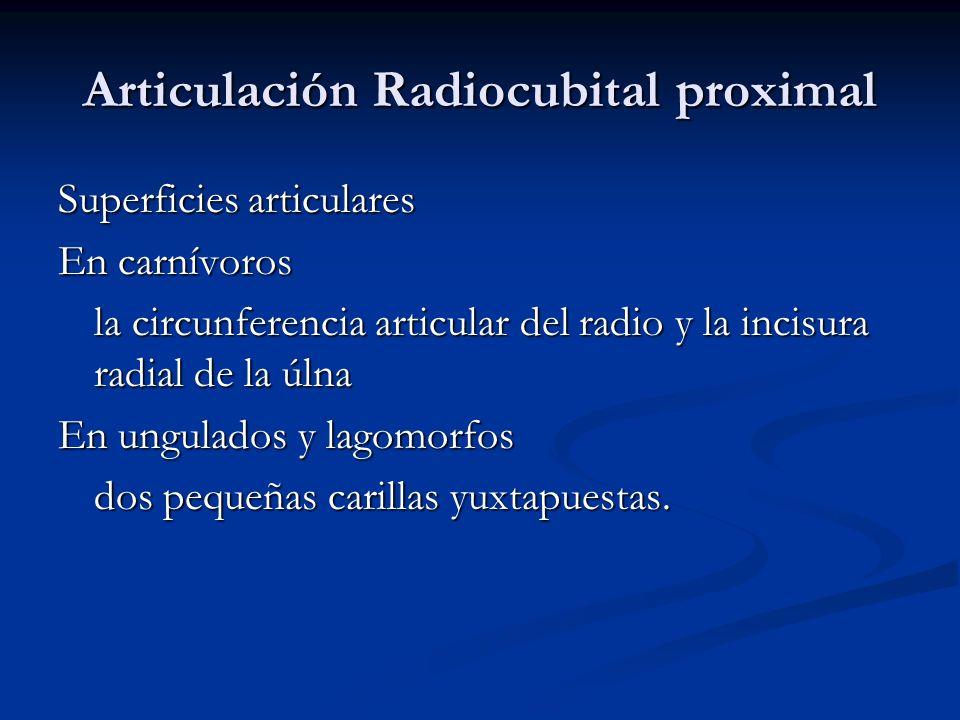 Articulación Radiocubital proximal Superficies articulares En carnívoros la circunferencia articular del radio y la incisura radial de la úlna En ungu