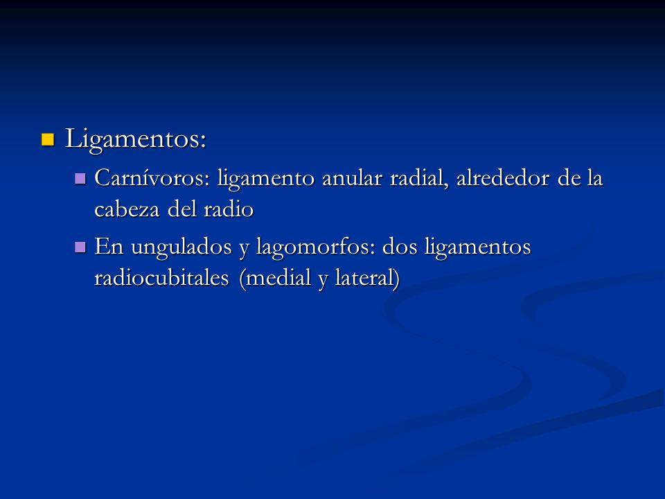 Ligamentos: Ligamentos: Carnívoros: ligamento anular radial, alrededor de la cabeza del radio Carnívoros: ligamento anular radial, alrededor de la cab