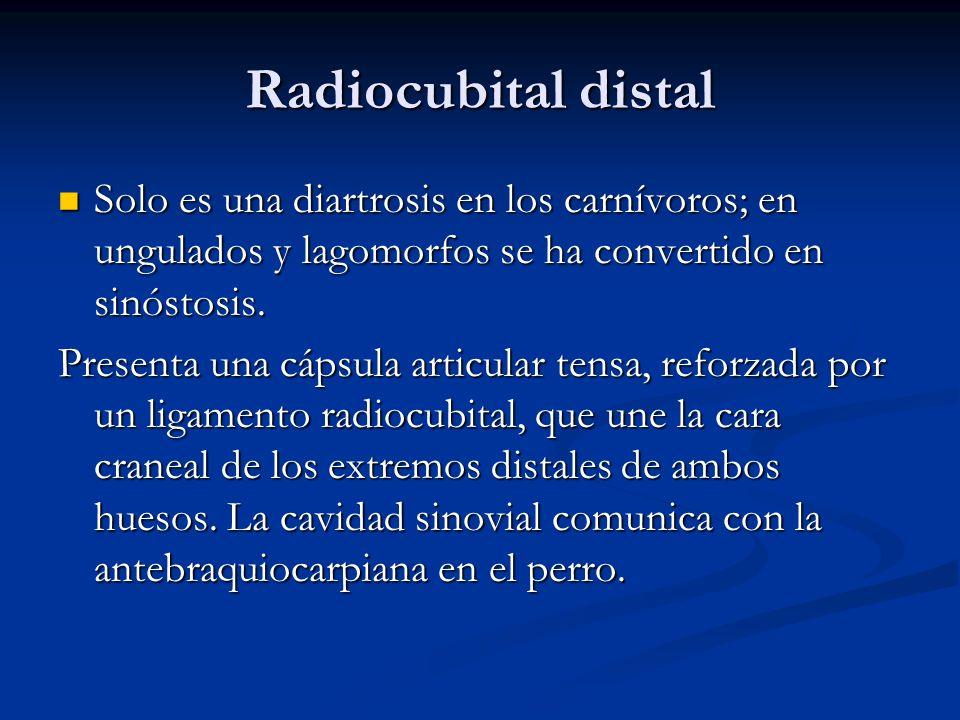 Radiocubital distal Solo es una diartrosis en los carnívoros; en ungulados y lagomorfos se ha convertido en sinóstosis. Solo es una diartrosis en los
