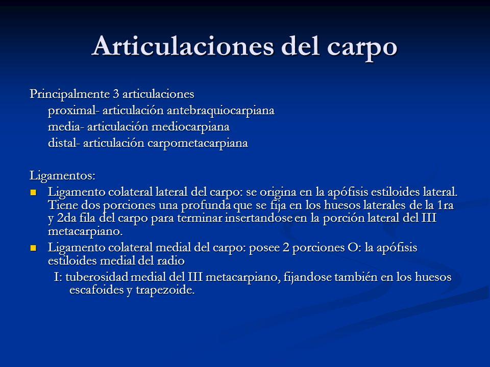 Articulaciones del carpo Principalmente 3 articulaciones proximal- articulación antebraquiocarpiana media- articulación mediocarpiana distal- articula