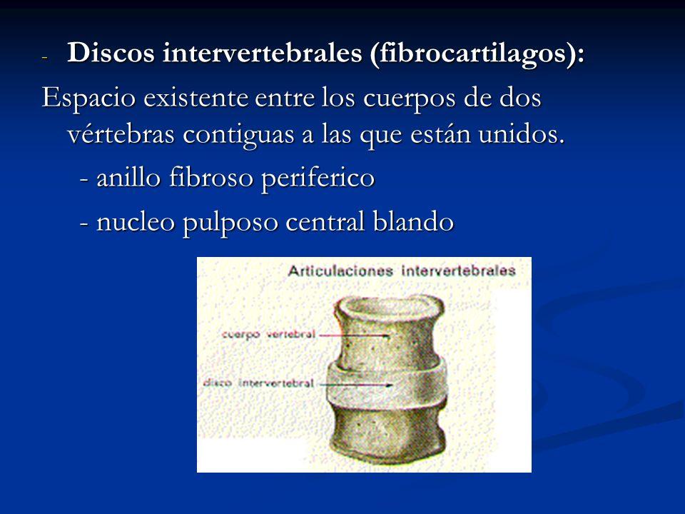 - Discos intervertebrales (fibrocartilagos): Espacio existente entre los cuerpos de dos vértebras contiguas a las que están unidos. - anillo fibroso p