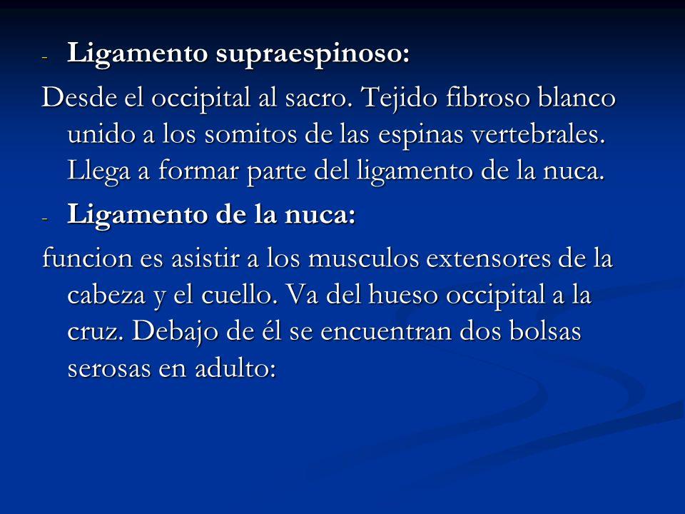 - Ligamento supraespinoso: Desde el occipital al sacro. Tejido fibroso blanco unido a los somitos de las espinas vertebrales. Llega a formar parte del