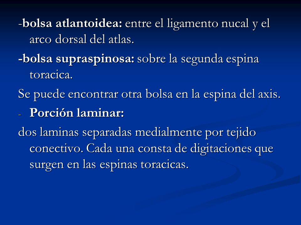 -bolsa atlantoidea: entre el ligamento nucal y el arco dorsal del atlas. -bolsa supraspinosa: sobre la segunda espina toracica. Se puede encontrar otr