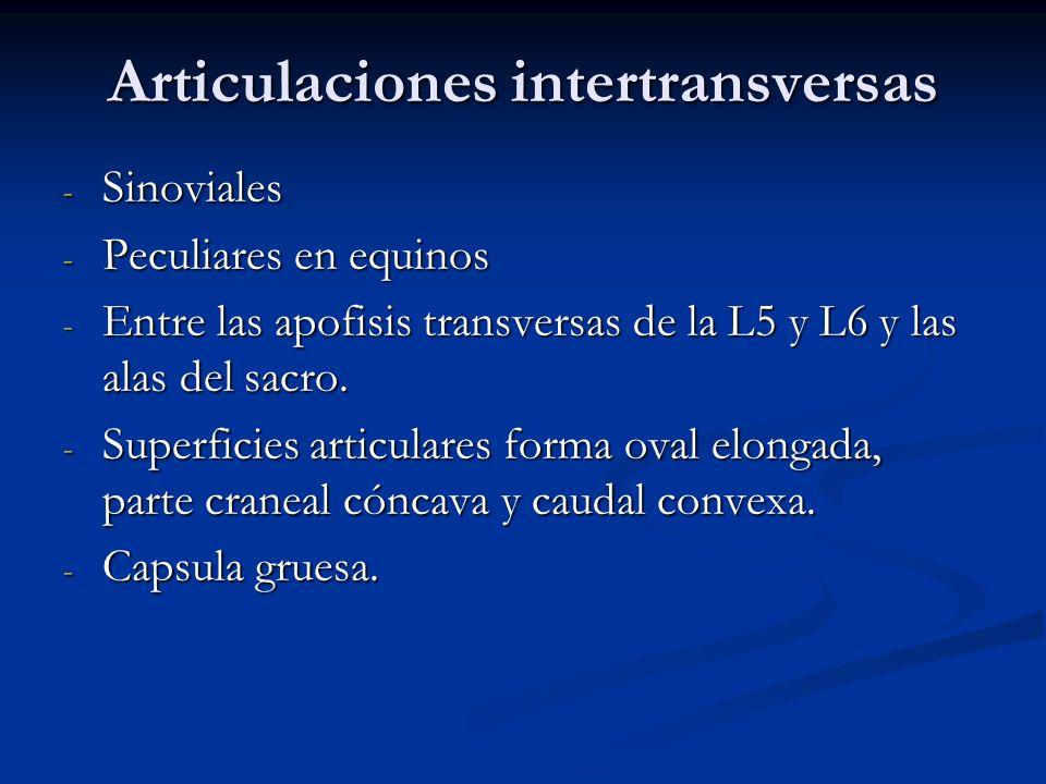 Articulaciones intertransversas - Sinoviales - Peculiares en equinos - Entre las apofisis transversas de la L5 y L6 y las alas del sacro. - Superficie