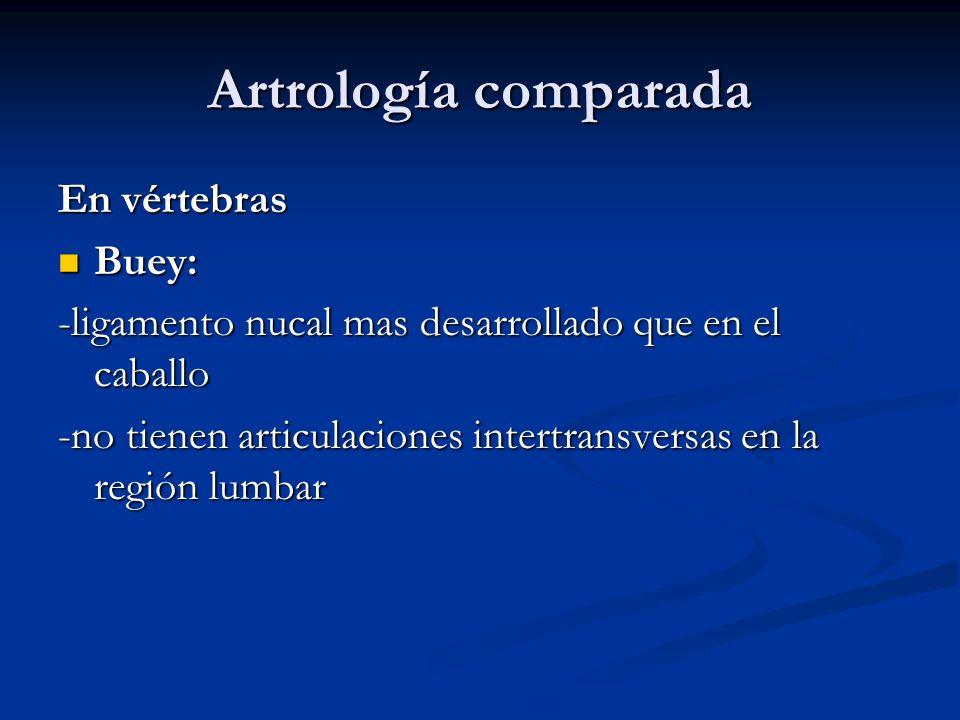 Artrología comparada En vértebras Buey: Buey: -ligamento nucal mas desarrollado que en el caballo -no tienen articulaciones intertransversas en la reg