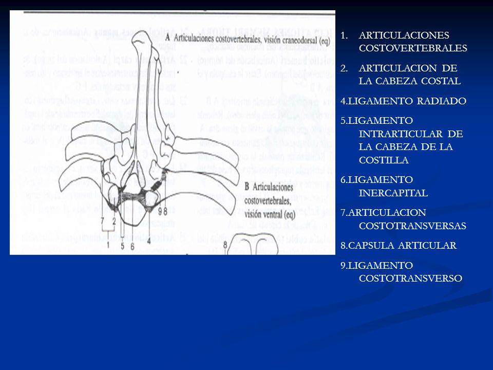 1.ARTICULACIONES COSTOVERTEBRALES 2.ARTICULACION DE LA CABEZA COSTAL 4.LIGAMENTO RADIADO 5.LIGAMENTO INTRARTICULAR DE LA CABEZA DE LA COSTILLA 6.LIGAM