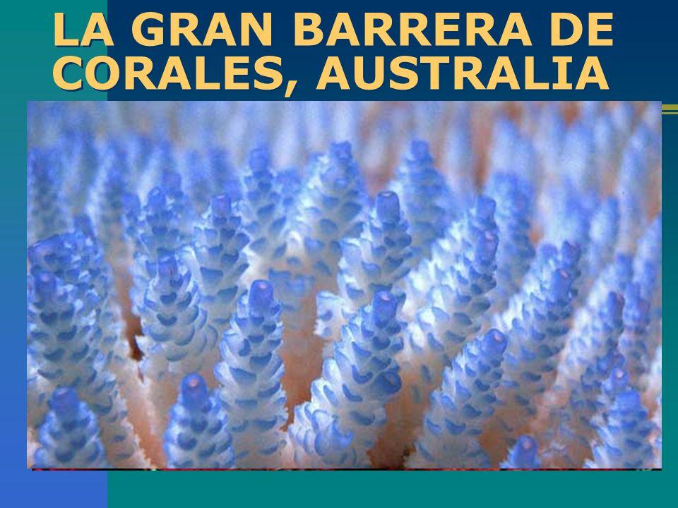 LA GRAN BARRERA DE CORALES, AUSTRALIA ¿Puedes imaginar el espectáculo que es una hilera de Corales que se extiende por miles de kilómetros y que solam