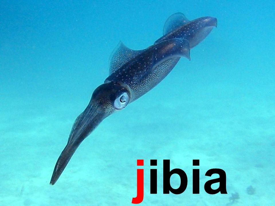 jibia