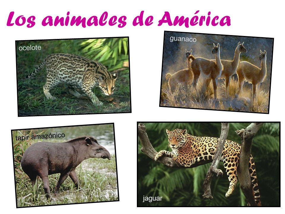 Los animales de América ocelote guanaco tapir amazónico jaguar