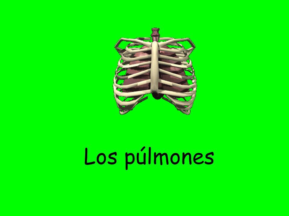 Los púlmones