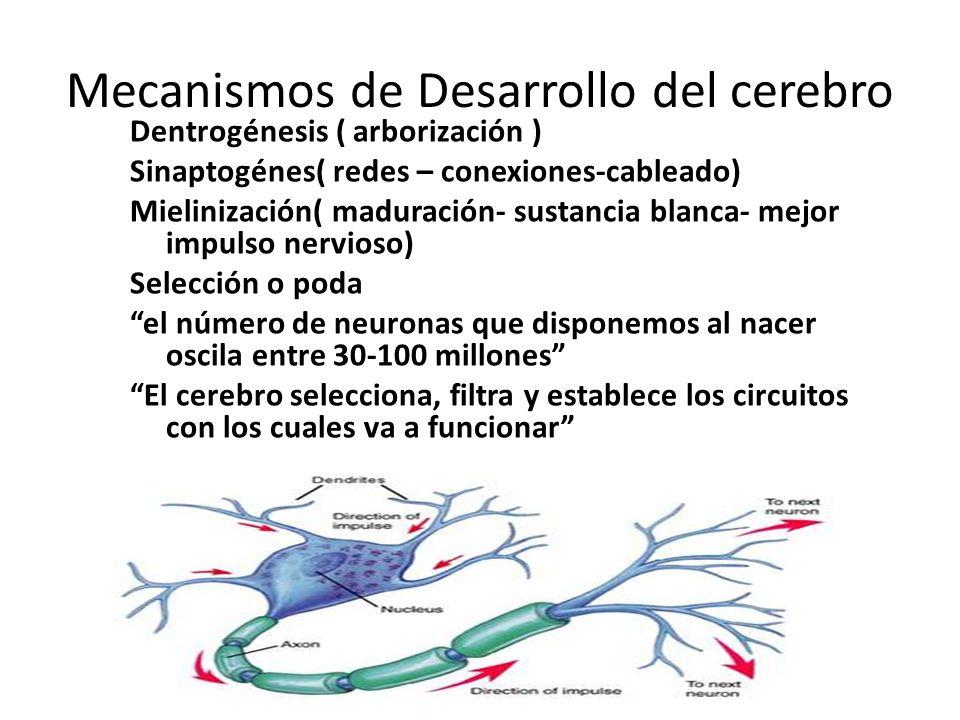 Mecanismos de Desarrollo del cerebro Dentrogénesis ( arborización ) Sinaptogénes( redes – conexiones-cableado) Mielinización( maduración- sustancia bl