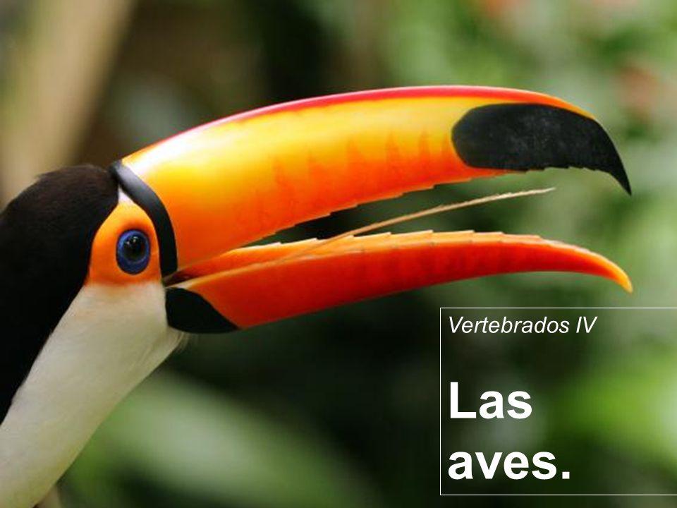 Vertebrados IV Las aves.