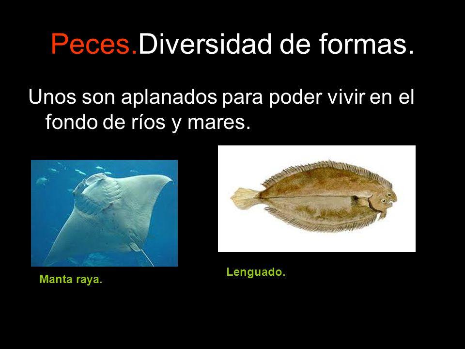 Peces.Diversidad de formas. Unos son aplanados para poder vivir en el fondo de ríos y mares. Manta raya. Lenguado.