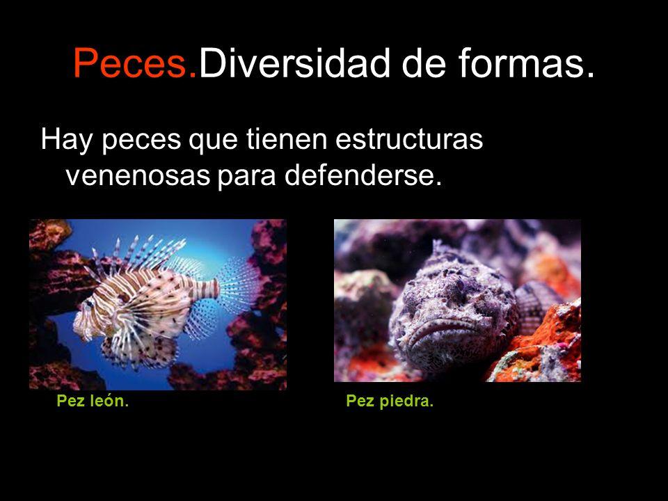 Peces.Diversidad de formas. Hay peces que tienen estructuras venenosas para defenderse. Pez león.Pez piedra.