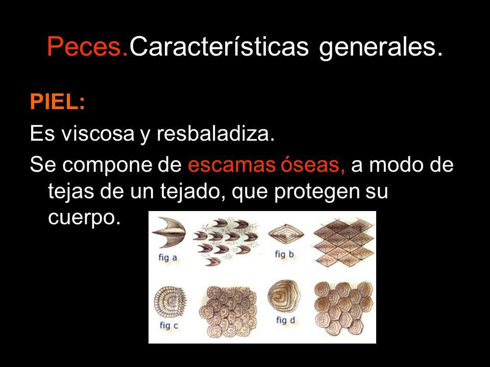 Peces.Características generales. PIEL: Es viscosa y resbaladiza. Se compone de escamas óseas, a modo de tejas de un tejado, que protegen su cuerpo.