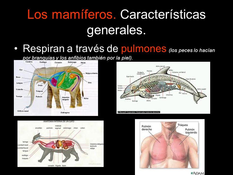 Los mamíferos. Características generales. Respiran a través de pulmones (los peces lo hacían por branquias y los anfibios también por la piel).