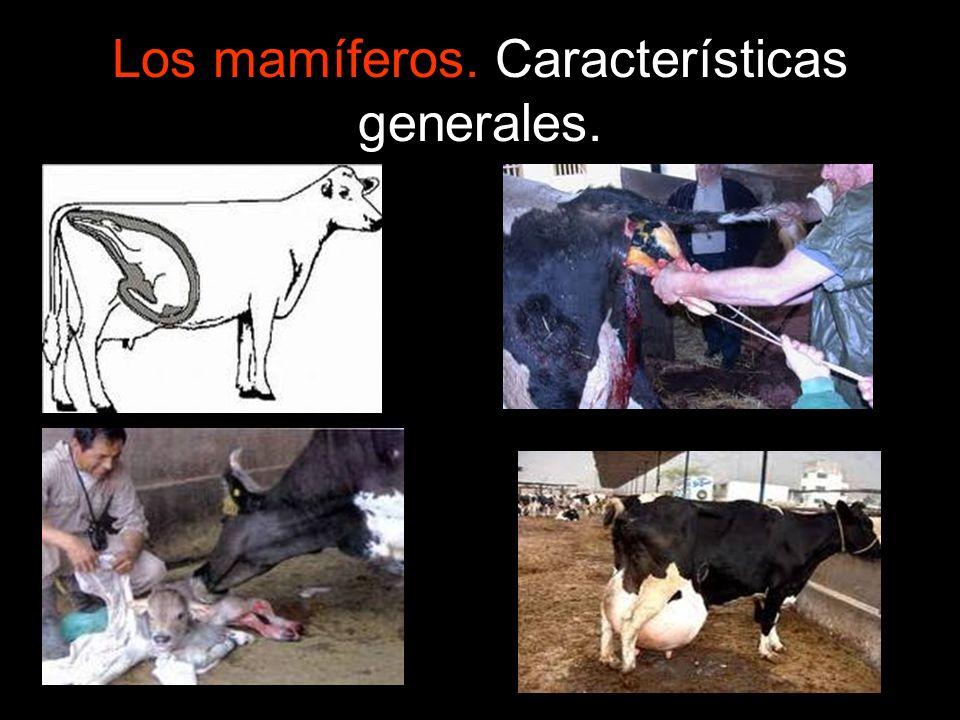 Los mamíferos. Características generales.