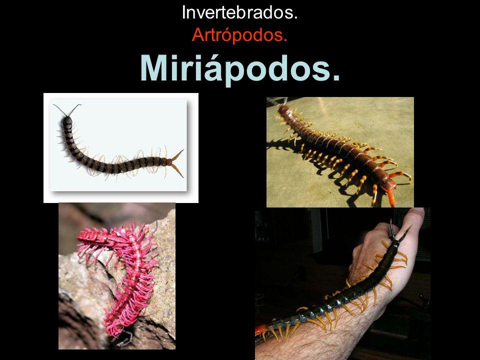 Invertebrados.Artrópodos. Insectos. Son el grupo más numeroso de artrópodos.