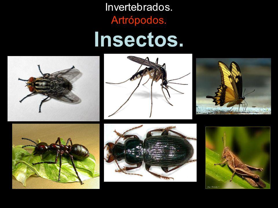 Clasificación de los animales.ANIMALES INVERTEBRADOS VERTEBRADOS No tienen esqueleto interno.