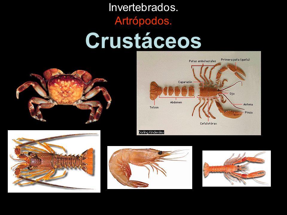 Invertebrados.Artrópodos. Arácnidos. Tienen ocho patas.