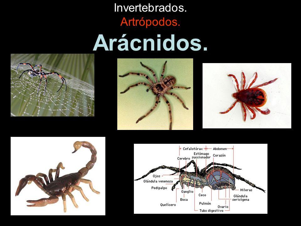 Invertebrados.Artrópodos. Miriápodos. Tienen muchas patas ( de 20 a más de 100).