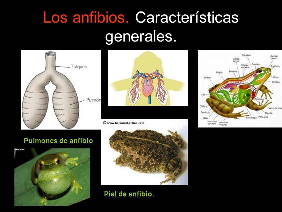 Los anfibios. Características generales. Pulmones de anfibio Piel de anfibio.