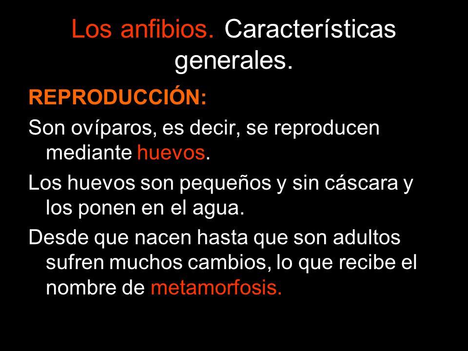 Los anfibios. Características generales. REPRODUCCIÓN: Son ovíparos, es decir, se reproducen mediante huevos. Los huevos son pequeños y sin cáscara y