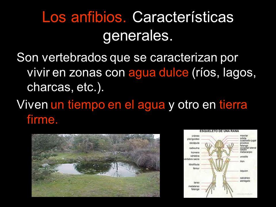 Los anfibios. Características generales. Son vertebrados que se caracterizan por vivir en zonas con agua dulce (ríos, lagos, charcas, etc.). Viven un
