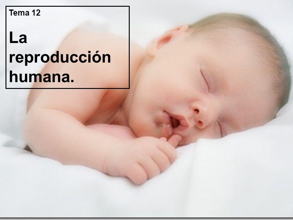Tema 12 La reproducción humana.