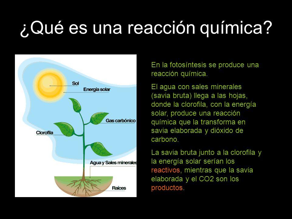 ¿Qué es una reacción química? En la fotosíntesis se produce una reacción química. El agua con sales minerales (savia bruta) llega a las hojas, donde l