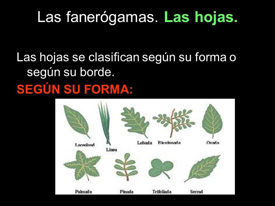 Las hojas se clasifican según su forma o según su borde. SEGÚN SU FORMA:
