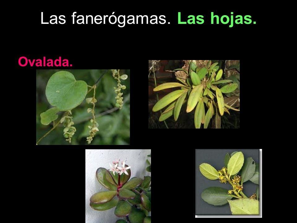 Las fanerógamas. Las hojas. Ovalada.