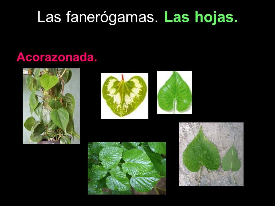 Las fanerógamas. Las hojas. Acorazonada.