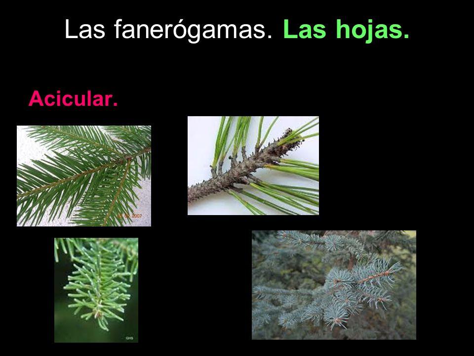 Las fanerógamas. Las hojas. Acicular.