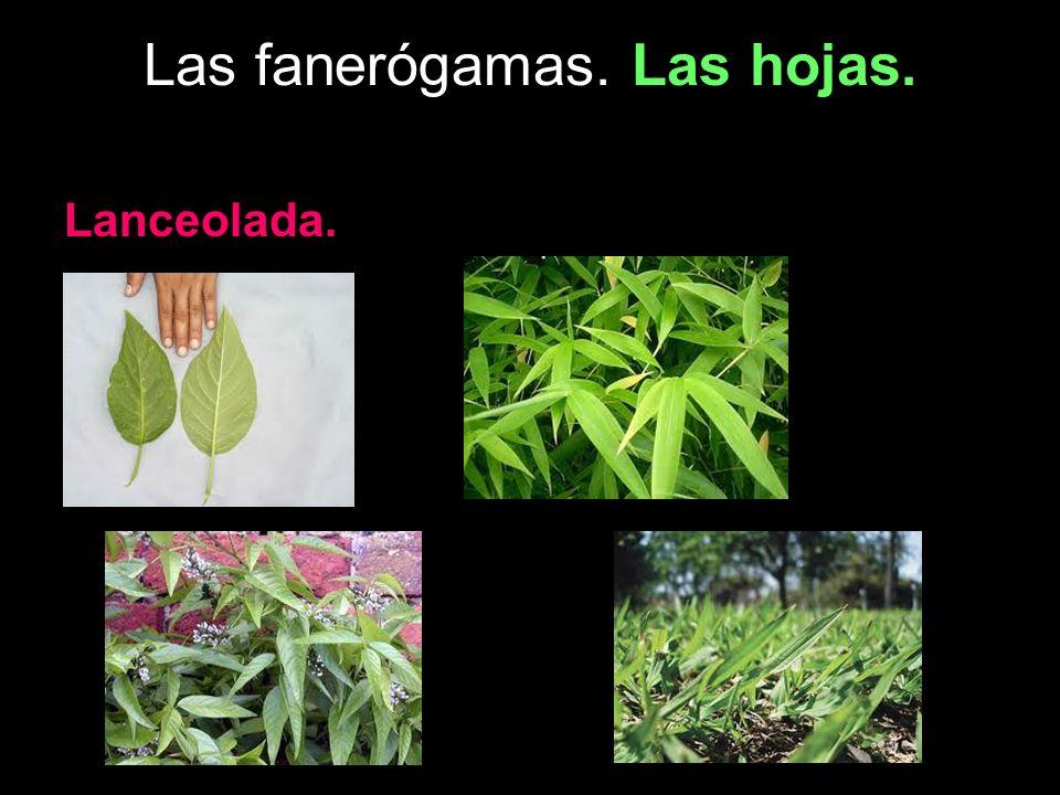 Las fanerógamas. Las hojas. Lanceolada.